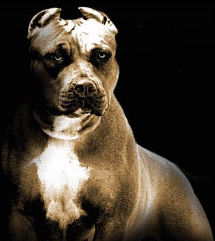 pitbull-prayer-dog.jpeg