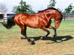 dadivoso_andalusian-stallion.jpg