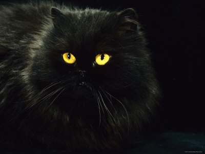 1145093domestic-cat-black-persian-female-at-night-yellow-eyes-shining-posters.jp