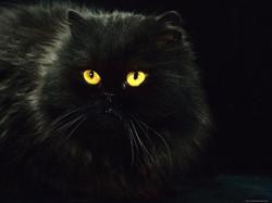 1145093domestic-cat-black-persian-female-at-night-yellow-eyes-shining-posters.jp