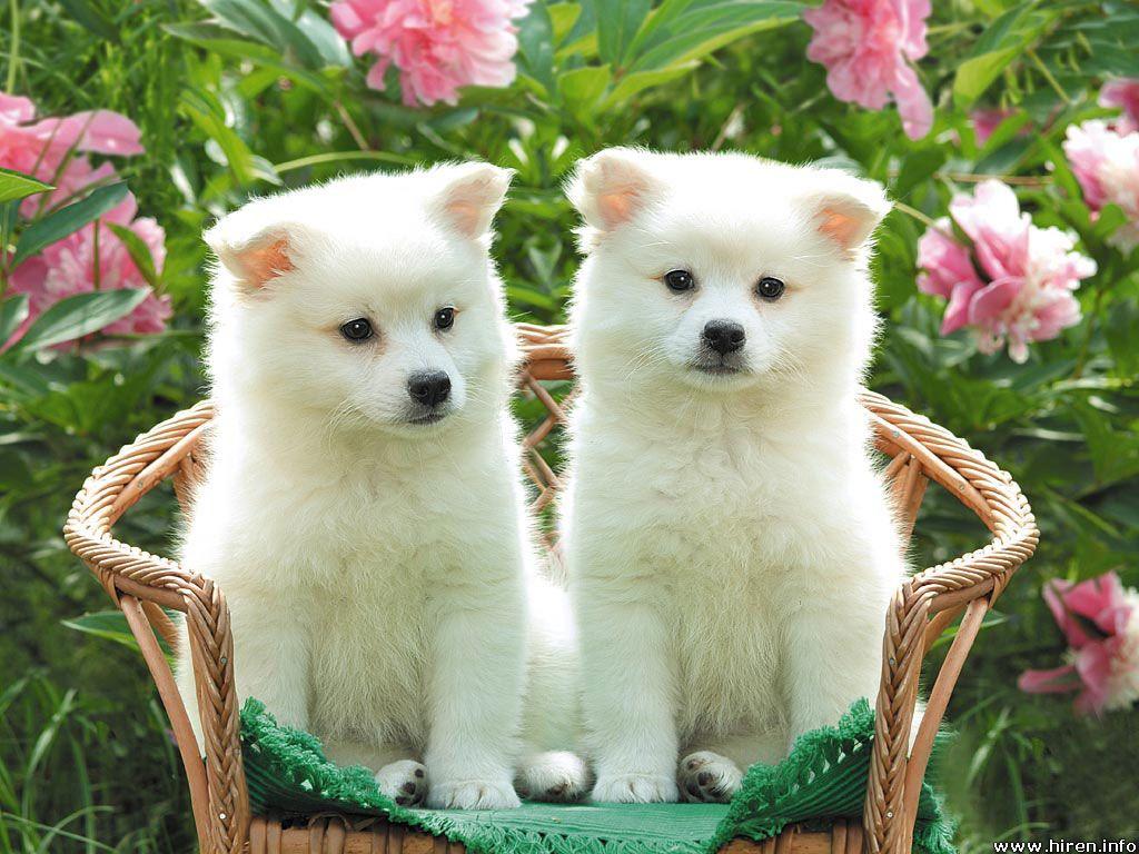 white-puppies.jpg