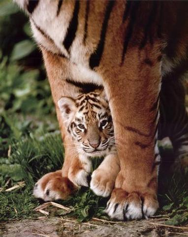Tiger-Cub--C10095265.jpg