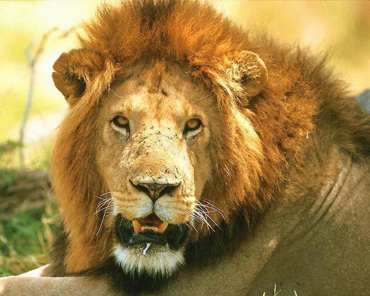 lion-or-O-19.jpg