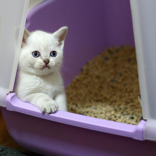 kitten-in-the-litter-box.jpg