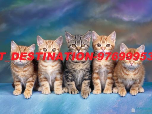 Tabby-Kittens-512X384-85.jpg