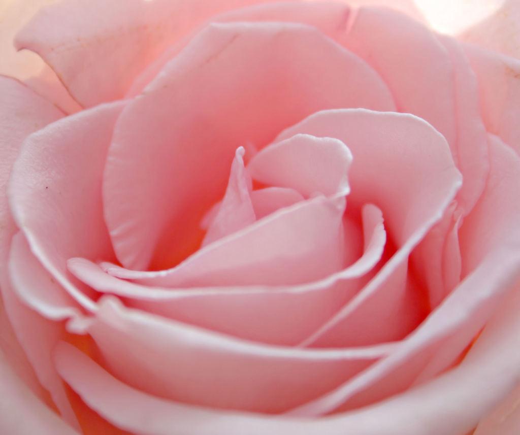 Flower-Baby-cute-Rose-31000.jpeg
