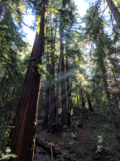 Redwoods in La Honda, CA
