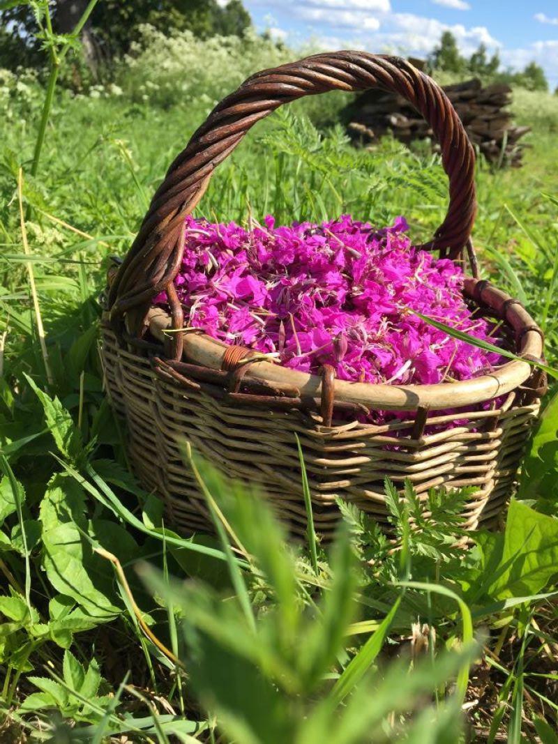 как правильно собирать цветы иван-чая