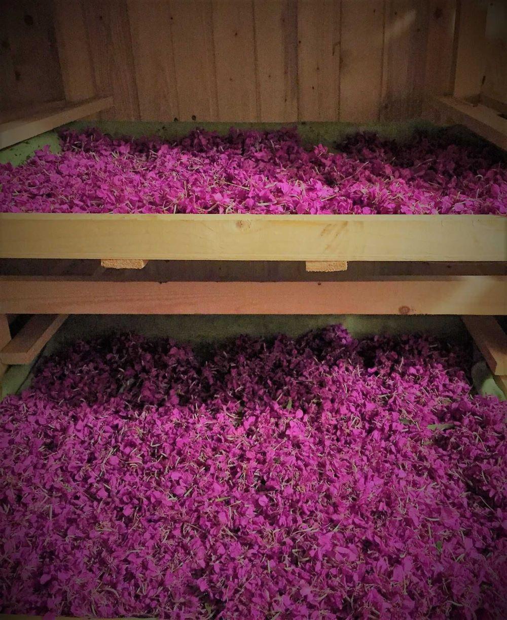 как правильно сушить цветы иван-чая