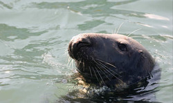 A seal in Lerwick Harbour