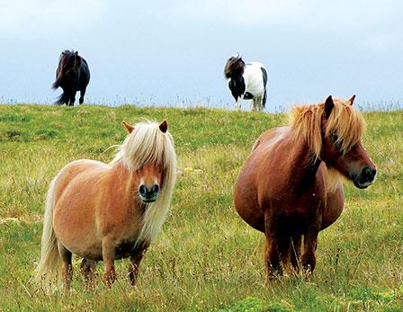 Shetland Wildlife: Shetland Ponies