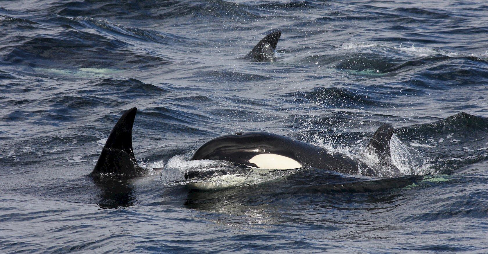 Killer Whales off Shetland