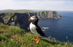 Shetland Wildlife: Puffin