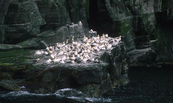 Gannets Take Roost