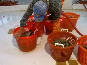 Andy washing Sweet Savannah Shrimp