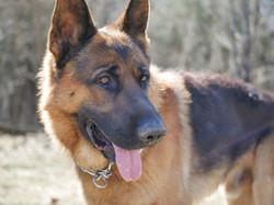 german shepherd dog canada