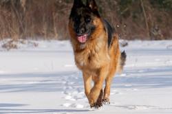 Reba running in our field -German Shephe
