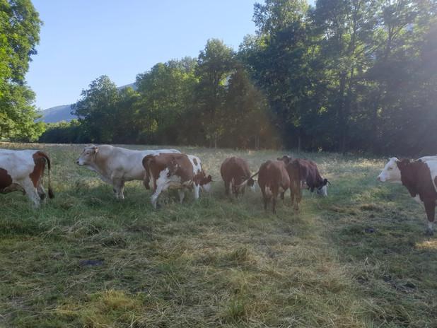 vaches_en_haute_montagne_troupeau_ferme_produits_fermiers