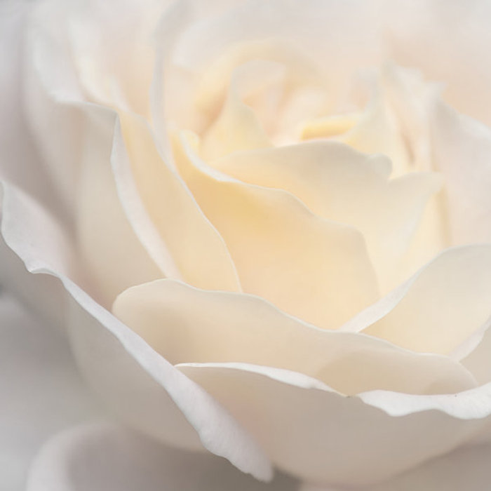 rose_pale_blush_by_photofairy-d34b8y7.jpg
