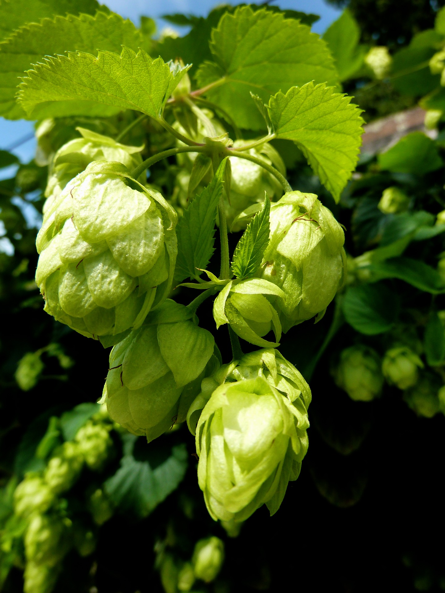 Hops - What beer is made of
