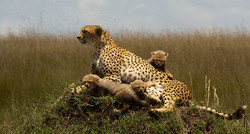 Cheetah_with_cubs