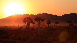 Aloe dichotoma sunset_wc_screen