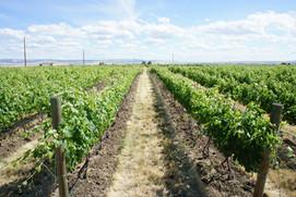 Pheasant Run Vineyard