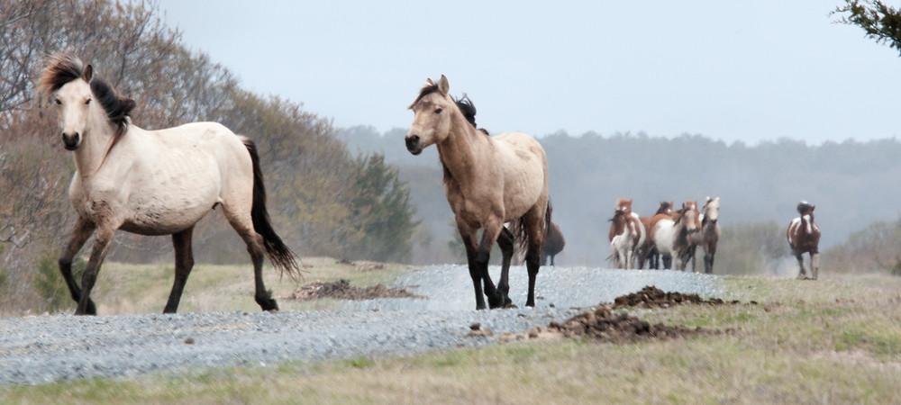 chincoteague-ponies.jpg