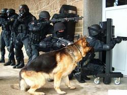 German-Shepherd-Military-Dog2