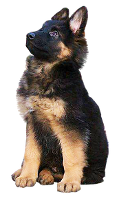 png-german-shepherd--300.png