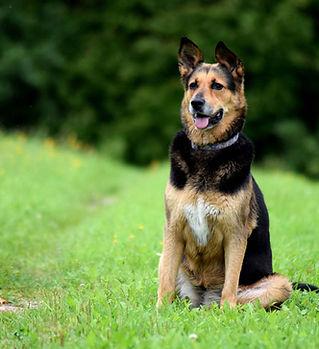 Dog-Thrive-Dog-Sitting-German-Sheppherd-