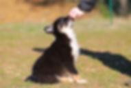 border-collie-puppy-training-treat.jpg