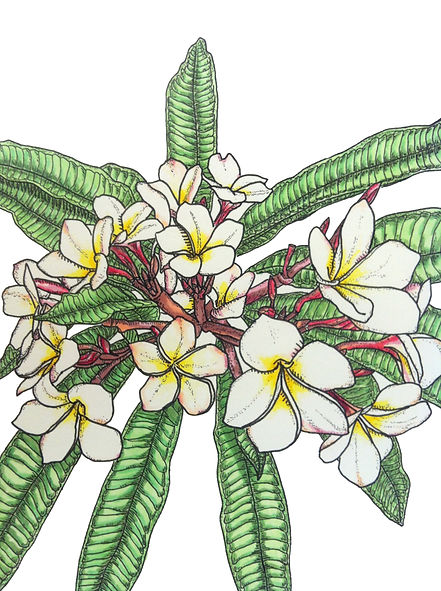 Image: Matt Pool, Frangipani, Copic Marker on paper