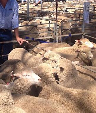 Prime Lamb_edited.jpg