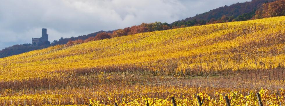 Alsace automne vignes chateau fort