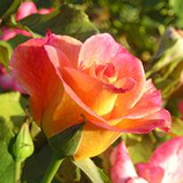 Czech Pink Rose .jpg