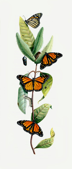Milkweed and Butterfly