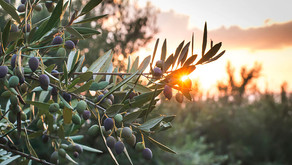 The Health Benefits Of Hand-Harvested Organic Olive Tree Leaves Are Amazing.