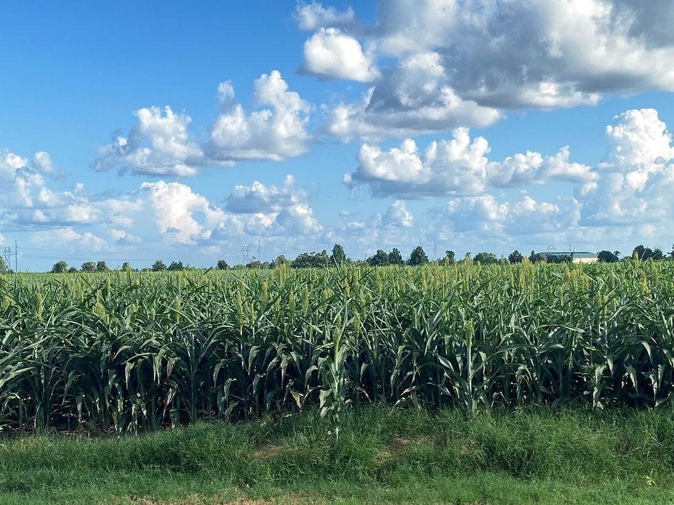 Pic of Crops.jpg