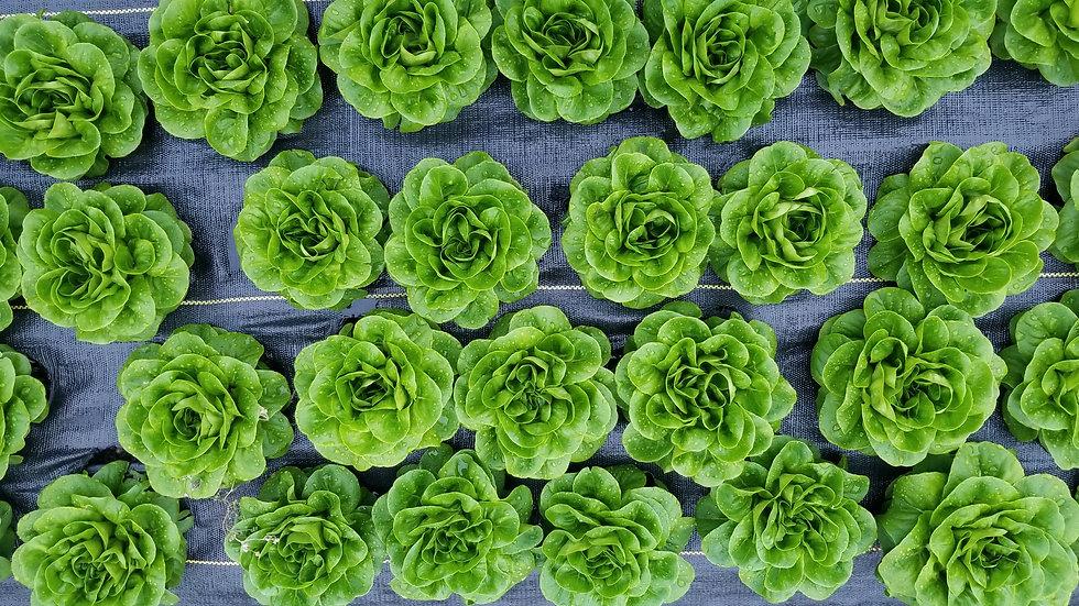 Salad Lovers' Share ($25 / week, 20 weeks)