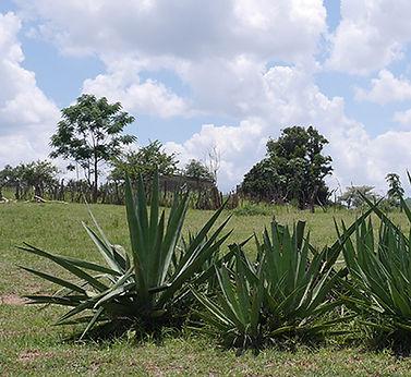 Sisal in Swaziland