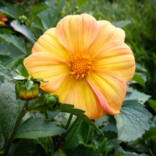 Yellow and coral Dahlia