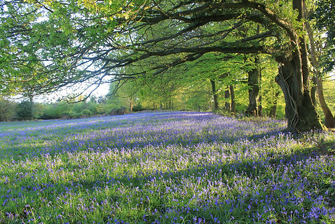 Bluebells in our fields