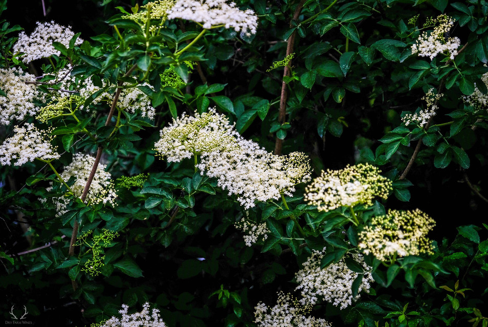Elderflower tree.jpg