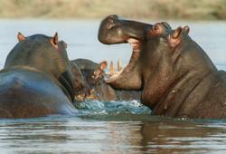 hippopotamus-NAmibia