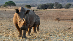 rhino-1170132_1920