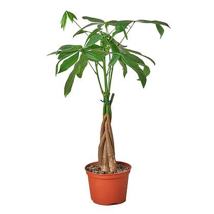 Live Pachira Aquatica Money Tree