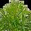 "Thumbnail: Parlor Palm 4"""