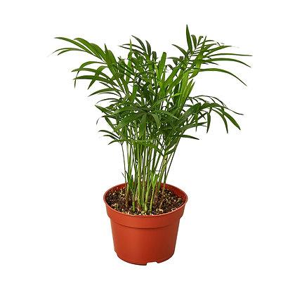 """Parlor Palm 4"""""""