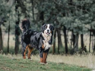 Fotografía de perro caminando en Bogotá en un bosque.